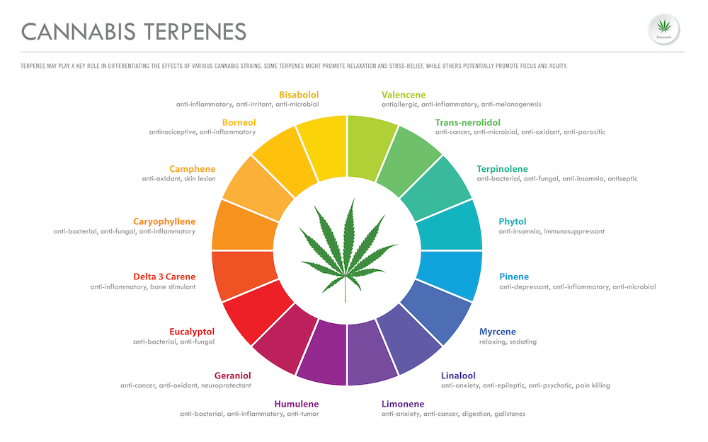 Infographic of the most common terpenes in cannabis