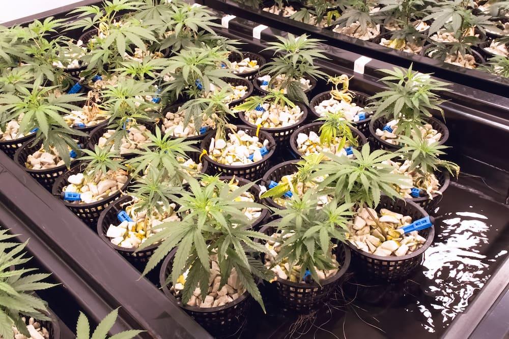 marijuana hydroponic system