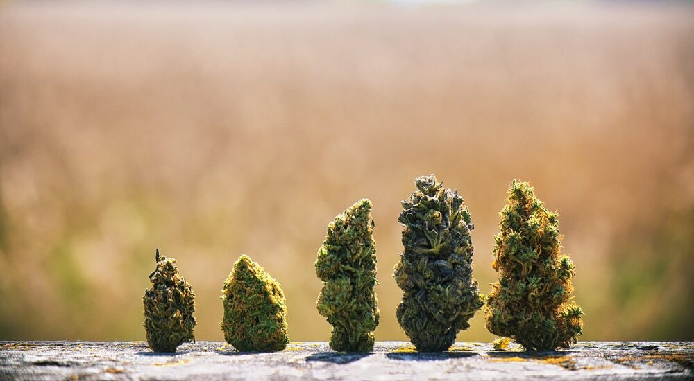 5 most popular strains of cannabis in Barcelona for 2020 photo