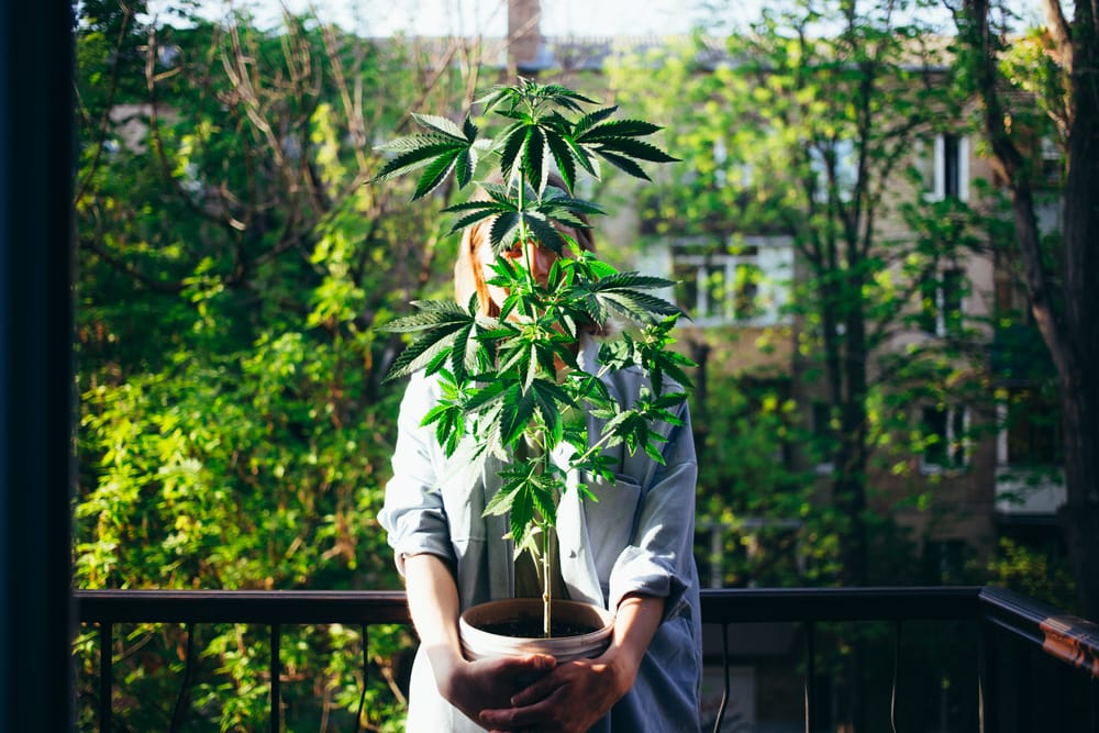 legally grow weed in Barcelona photo